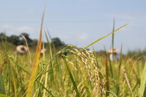 El arroz todavía plantado, justo antes de ser recolectado. Foto: Carlos Bajo Erro