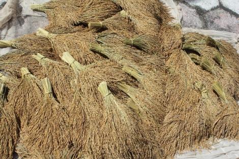 Los manojos de arroz ya recolectados y secandose al sol. Foto: Carlos Bajo Erro